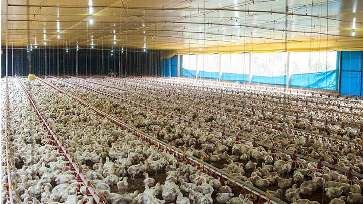 Hormônio em Frangos de Corte - Nutrição Animal - Agroceres Multimix