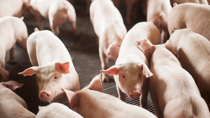 Leitões Desmamados - Nutrição Animal - Agroceres Multimix