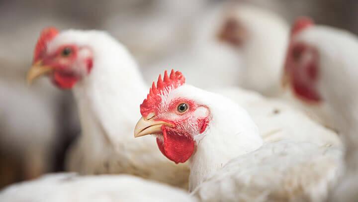 Forma Física da Ração - Nutrição Animal - Agroceres Multimix