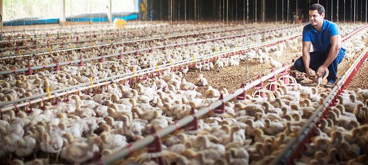 Condenação de Carcaças - Nutrição Animal - Agroceres Multimix
