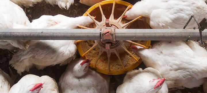 Matérias Primas - Milho - Nutrição Animal - Agrocres Multimix