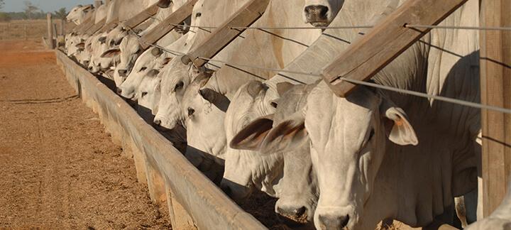 Caroço de Algodão - Nutrição Animal - Agroceres Multimix