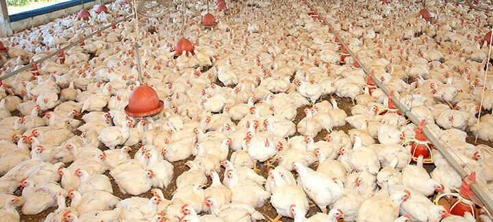 Conversão alimentar em frangos de corte - Nutrição Animal - Agroceres Multimix