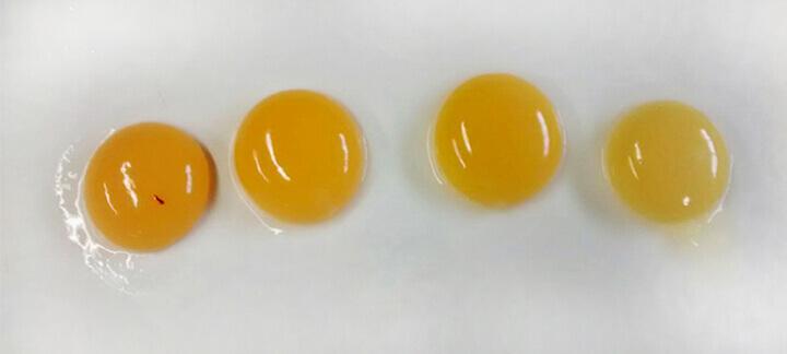 Cor da gema - Nutrição Animal - Agroceres Multimix