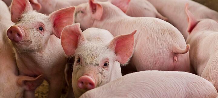 Streptococcus Suis | Nutrição Animal - Agroceres Multimix