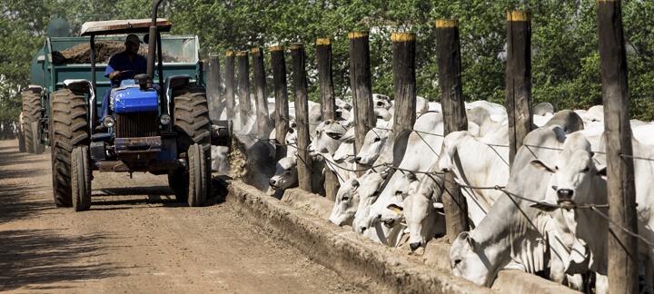 Imagem do artigo sobre evolução do confinamento no Brasil mostrando trator e bois