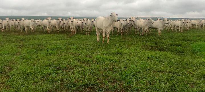 Vacas Reativas - Falando em Bem-estar: Vaca estressada