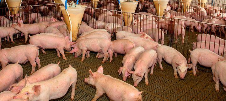 Promotores de crescimento - suinos em uma granja comendo