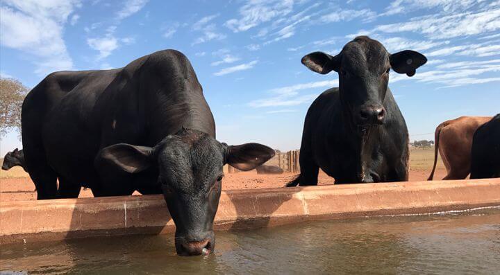 água limpa: a imagem mostra dois bois bebendo uma água boa e limpa