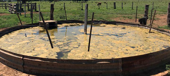 """água limpa: a imagem está mostrando um """"tanque"""" com uma água totalmente suja dos bois"""
