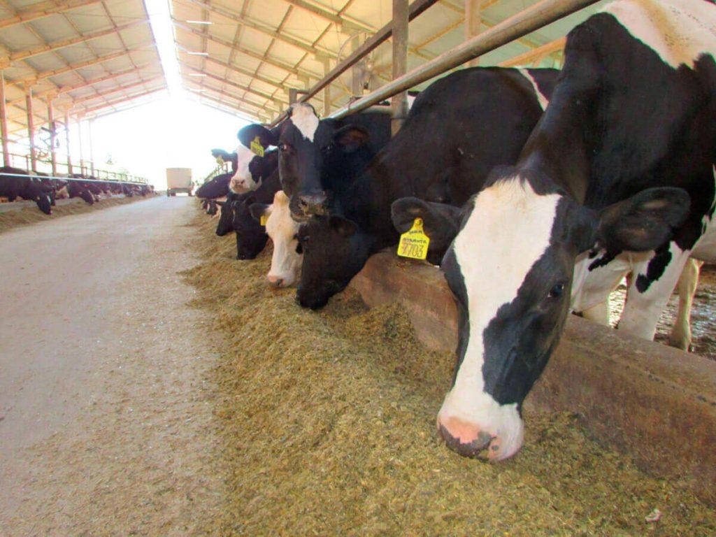 nitrogênio ureico - vacas comendo