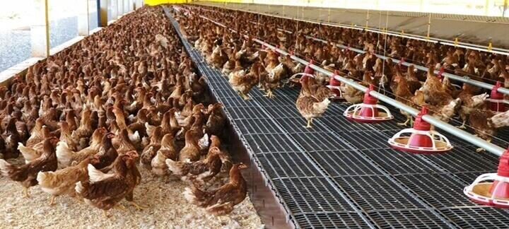 Sistema de produção de ovos