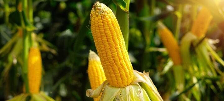 O milho