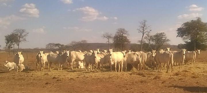 vacas de descarte