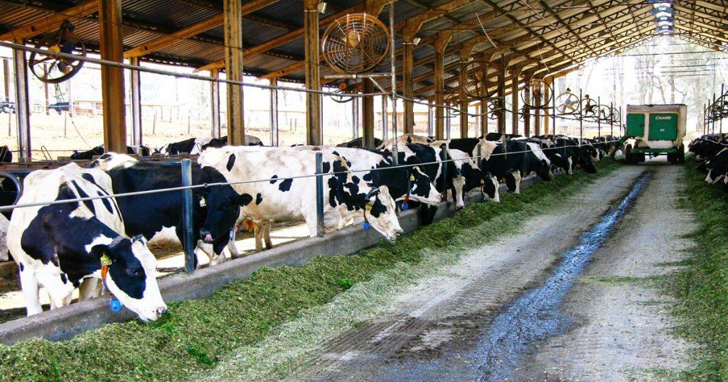 dietas de vacas