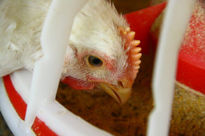 Esta imagem pertence ao artigo sobre aminoácidos e redução proteíca, ela mostra uma galinha