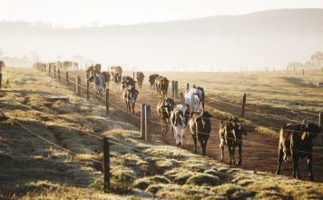 agrupamento nutricional: imagem com vacas vindo andando