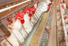 A imagem mostra galinhas em frente a seu recipiente para ração. Esta imagem pertence ao artigo com tema central sobre a granulometria da ração