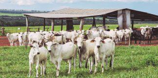 Esta imagem mostra bovinos em um pasto. A imagem pertence ao artigo com tema sobre recria de bovinos