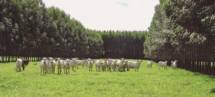 A imagem mostra bovinos no pasto. Esta imagem pertence ao artigo com foco em recria de bovinos