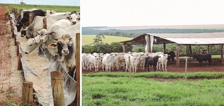 Estas imagens mostram bovinos se alimentando e dentro de um espaço, as imagens pertencem ao artigo onde o ponto chave é a recria de bovinos
