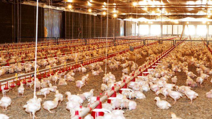 produção de frangos de corte