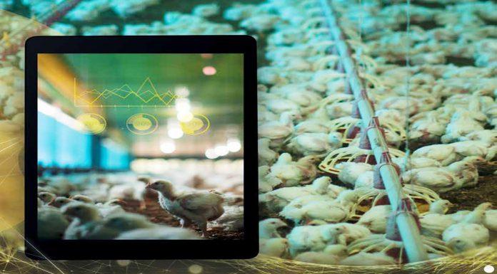 Imagem mostrando alguns pintinhos na industria avícola e um tablet, o que remete a tecnologia