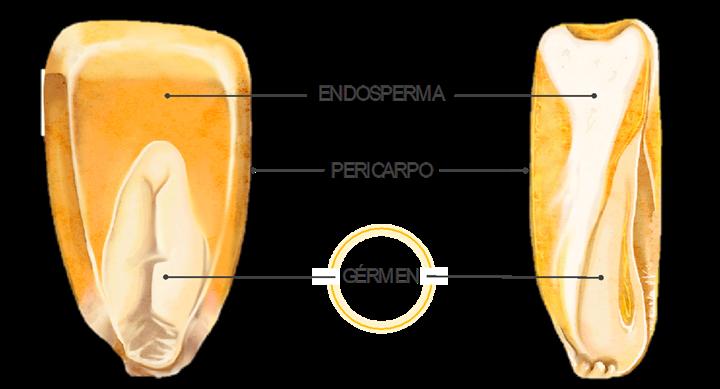 Figura 1. Estrutura do grão do milho