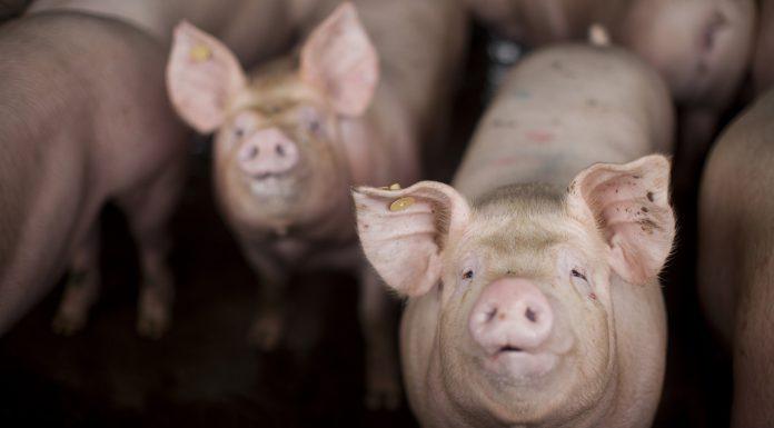 Foto de suínos que está como destaque no artigo sobre Brachyspira
