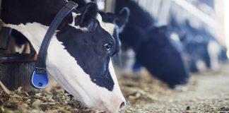 vacas comendo silagem