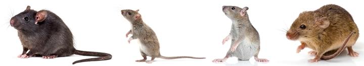imagem que mostra ratos - esta imagem se refere ao conteúdo sobre medidas de biossegurança