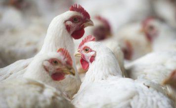 imagem em destaque do artigo com tema influenza aviária