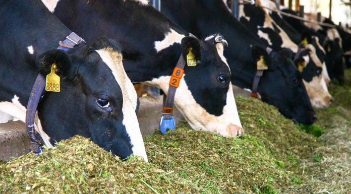 vacas se alimentando de matéria seca
