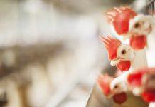 imagem que mostra galinhas dentro de uma granja - imagem pertencente ao artigo sobre compostagem