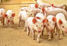 Foto dos leitões - imagem que pertence ao artigo sobre microbiota intestinal do leitão