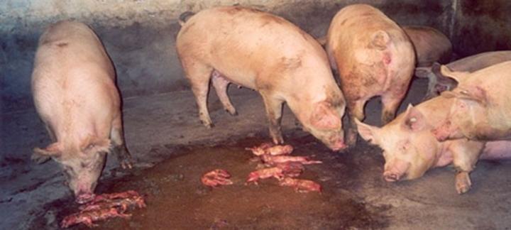 foto que mostra suínos jovens tendo abortos