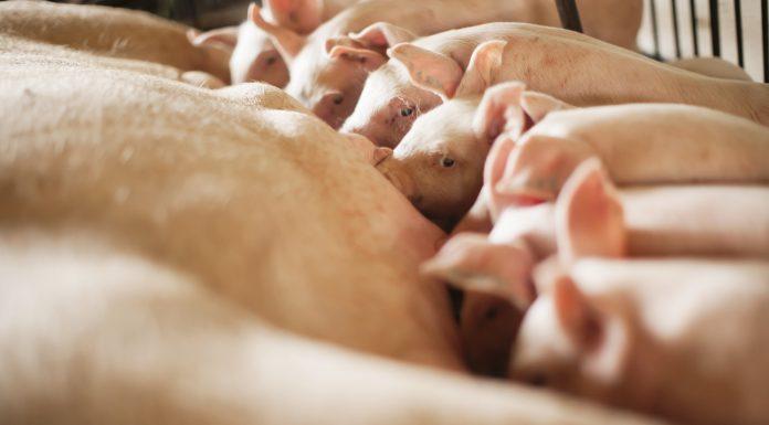 Capa do artigo com tema central sobre a hiperprolificidade das fêmeas suínas e se a nutrição pode auxiliar