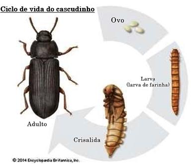 Figura 1. Ciclo de vida do cascudinho (Fonte: https://escola.britannica.com.br/pesquisa/artigos/muitos-insetos-passam-por-um-processo-de-mudan%C3%A7as-fisicas/recursos/188766)