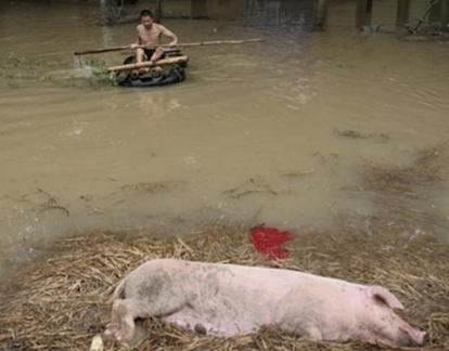 Surto de Peste Suína Africana em Chongqing – Suíno caído e homem na água com um barco de madeira indo em direção ao suíno