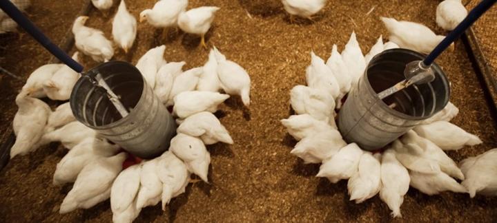 Imagem que representa o artigo Colibacilose aviária: desafio constante