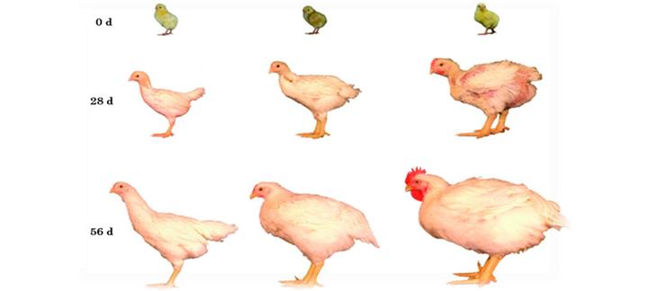 Comparação entre linhagens de aves de 1957, 1978 e 2005