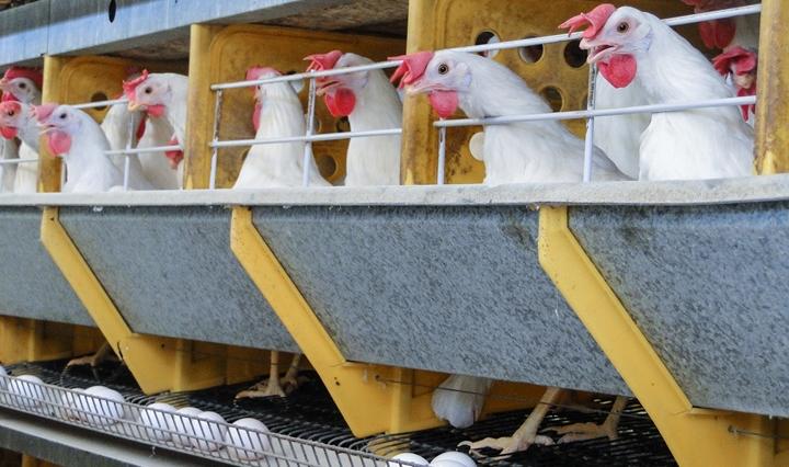foto das galinhas do corpo do artigo sobre minerais organicos na casca do ovo