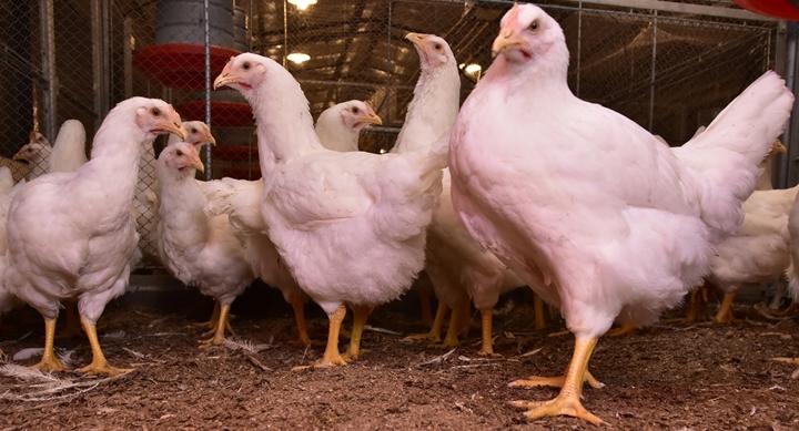 fotos das aves no artigo sobre a qualidade do empenamento das aves