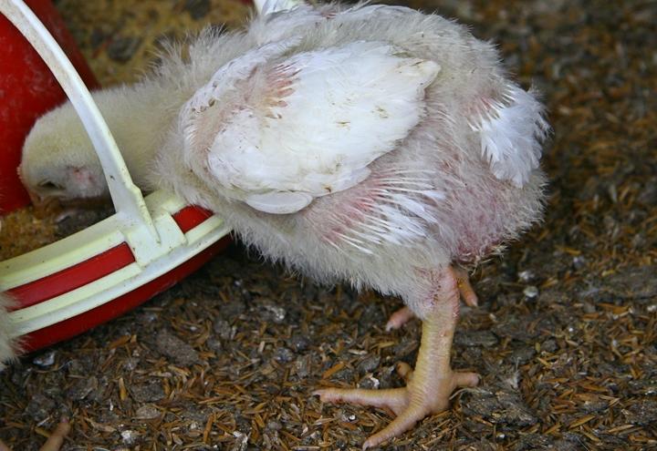 foto do pintinho no artigo sobre qualidade do empenamento das aves