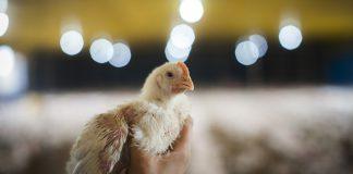 foto capa do artigo sobre qualidade do empenamento das aves