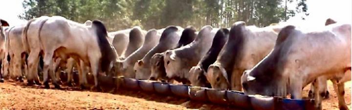 Foto de bovinos do corpo do artigo sobre a boa suplementação de bovinos