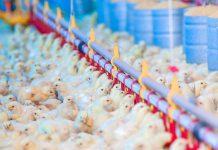 foto de pintinhos - nutrição de frangos na primeira semana