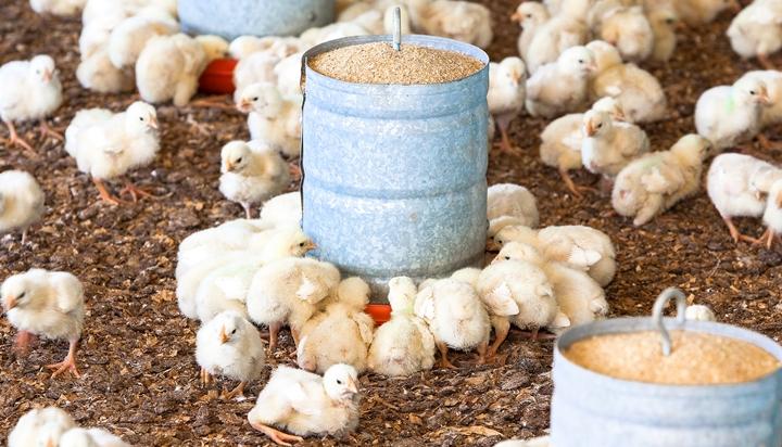 foto que mostra pintinhos na granja, pertencente ao artigo sobre nutrição de frangos na primeira semana
