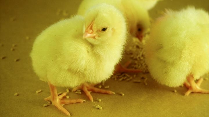 foto de pintinhos no artigo sobre nutrição de frangos na primeira semana