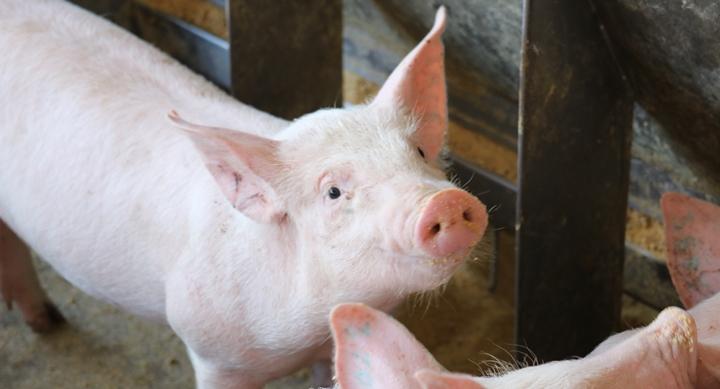 Foto de um suínos - foto aplicada no artigo sobre os efeitos positivos da protease para suínos